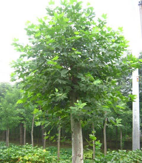 法桐苗木对树木进行浇水