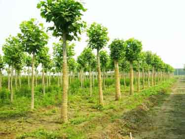 法桐树木支撑与扶正整齐美观的效果