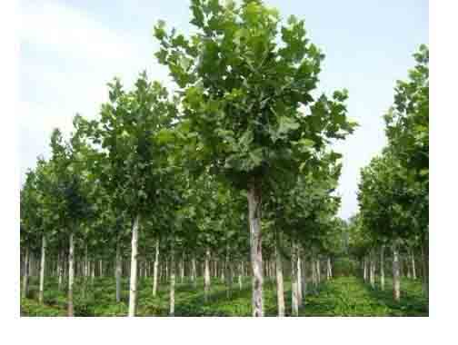 法桐营林绿化苗木培育关键技术