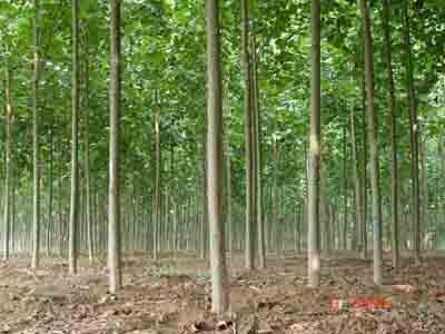法桐苗木吸收更加丰富的养分和水分