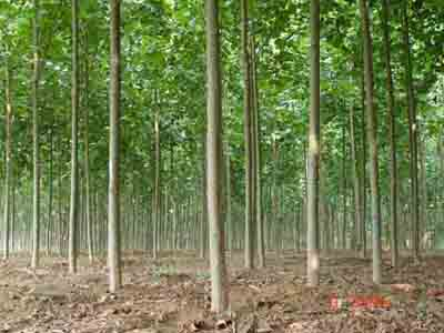 法桐园林绿化大树移植技术分析