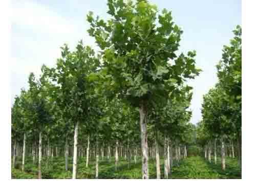 法桐苗木挑选生长健壮的根茎